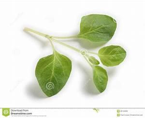 Sprig of oregano stock photo. Image of leaf, herb, leaves ...