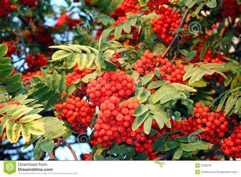 ashberry rowa tree stock photo image of leaf mountain