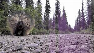 Porcupine On The Valley Of Ten Thousand Smokes Road
