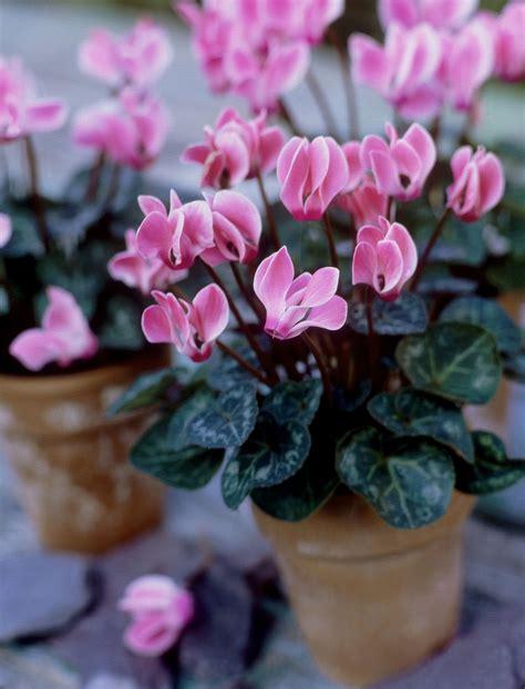 miniature cyclamen growth  care tips