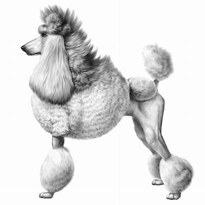 Poodle Poodles Embarkvet Dog