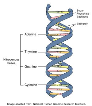 Genetic Diagram Gene Dna by Dna Genes And Chromosomes Of Leicester