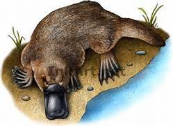 Duck-Billed Platypus  ...