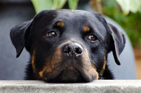 rottweiler health issues  problems canna pet