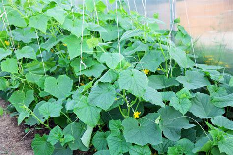 Gurken Pflanzen Gurken Pflanzen Videotipps F R Anbau Und