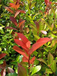 Photinia Red Robin : photinia x fraseri red robin agm 25l 150 175cm ~ Michelbontemps.com Haus und Dekorationen
