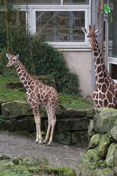 giraffen zoo duisburg freizeitpark weltde