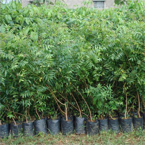 neem plant natural  pure herbs sai lasya hitech