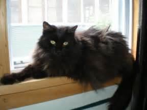 black cat rescue everyone deserves a home black cat rescue