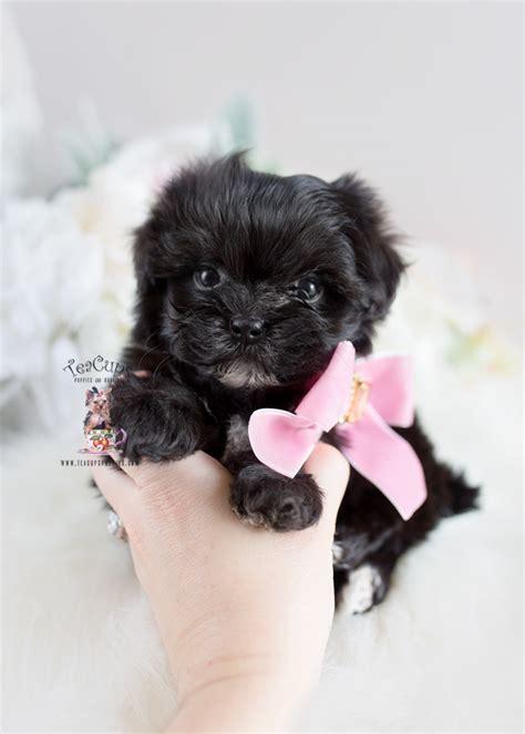 designer breed maltipoo puppy teacups puppies boutique