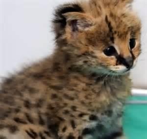 cheetah cats the world s catalog of ideas