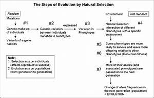 Flow Chart  Evolution By Natural Selection