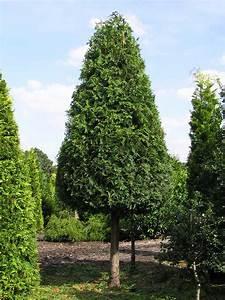 Sichtschutz Bäume Immergrün : xxl sichtschutz b ume als sichtschutz new wpc sichtschutz ~ Eleganceandgraceweddings.com Haus und Dekorationen