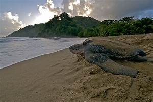 Leatherback Sea Turtle Facts and Pictures | Reptile Fact