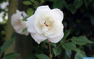 100 Types of the Most Beautiful White Flowers for Your ...