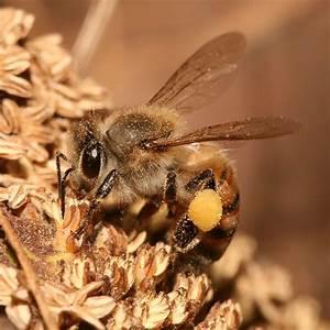 Forage  Honey Bee