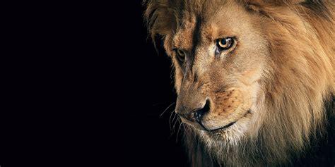 Lion Backgrounds 4k