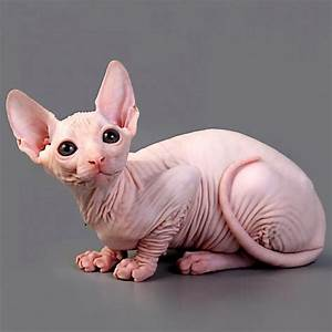 Ugliest cat in the world | Ugliestthingintheworld.com
