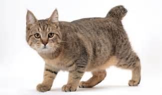pixie bob cat pixiebob cat breed information