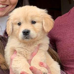 golden retriever puppies bred for temperament alton