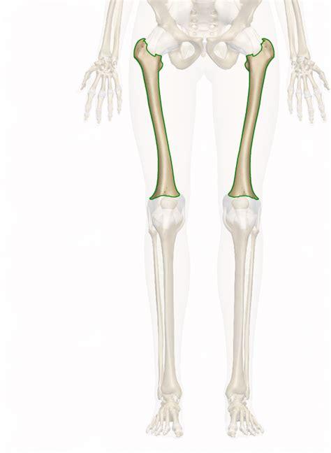 femur skeletal system