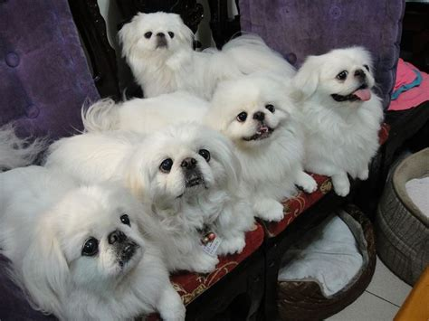mob  white pekingese pekingese pinterest beautiful