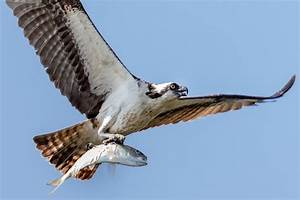 Osprey flying with fish | Tony Northrup | Flickr