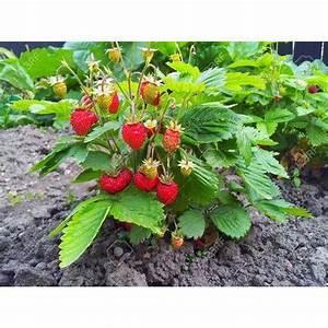 Plant De Fraisier : images of strawberry plants images ~ Premium-room.com Idées de Décoration