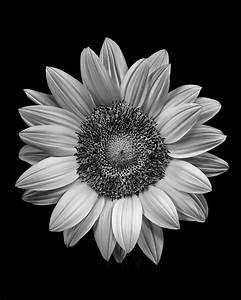 Sunflower. | Black & White Photography | Pinterest
