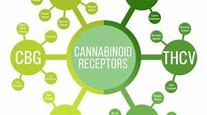 The Endocannabinoid System  U2013 All About Those Receptors