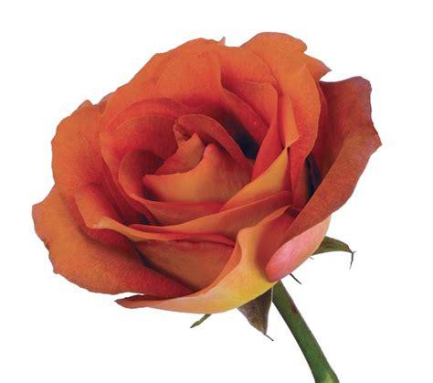 Mejores flores rosas hermosas decoraciones florales la vie en rose decoración de unas plantas cosas buenos días flores sopa de pollo. DVFlora© Rose Brown Coffee Break   Flowers, Wholesale ...
