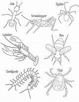Coloring Arthropod Hewan Arthropods Arthropoda Phylum Worksheets Anatomy Halo Colorare Mamalia Colour Ausmalbild Bio Master Biology Contoh Thorax Air Compare sketch template