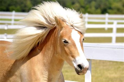 horses horse hair most exotic breed bigger breeds styles austria than hails barely pony rare