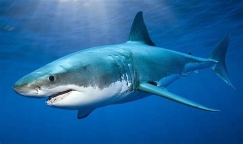 What Is The Difference Between A Hammerhead And A Great