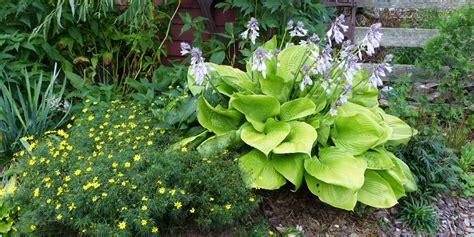 perennial shrubs perennials and shrubs