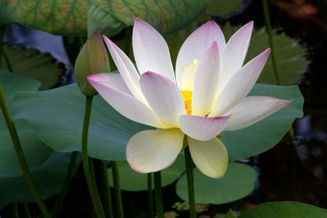 lotus flower and bud naturetime