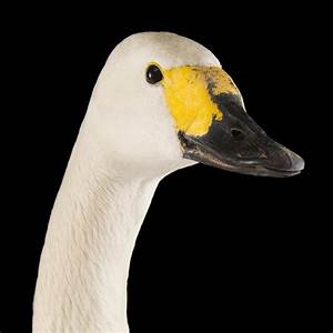 Tundra Swan | National Geographic