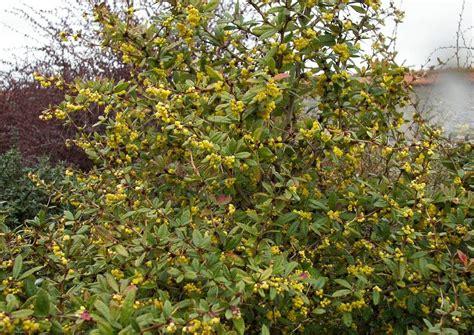 Berberis Hookeri Himalayaberberitze Immergrün Duftend