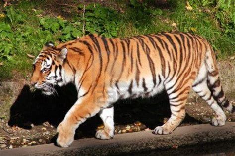 foto tigre del bengala allospedale  la tac