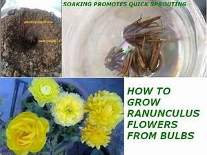 Easy Bulb Planting Guide  U2013 Grow Ranunculus Flowers