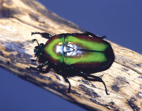 Emerald Beetle - Cincinnati Zoo & Botanical Garden®