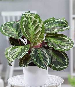 Calathea Blätter Rollen Sich Ein : calathea surprisestar 1a zimmerpflanzen online kaufen baldur garten ~ Orissabook.com Haus und Dekorationen
