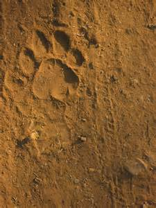 Real Tiger Paw Print