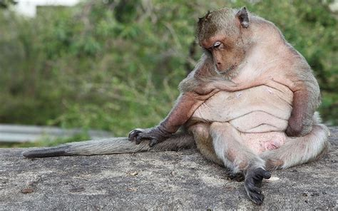 Pet Monkeys Hit By 'lifestyle' Obesity Epidemic