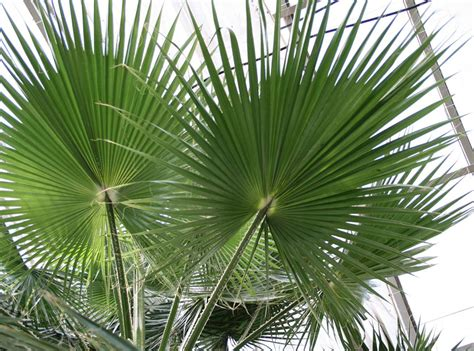 planting fan palm trees mexican fan palm tree pictures