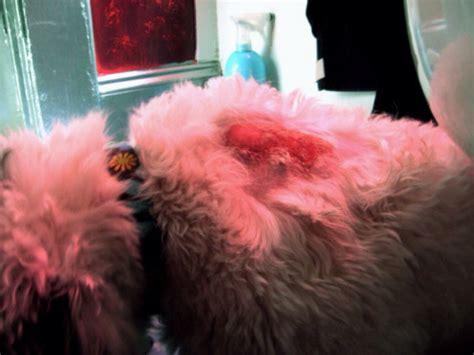 fleas   pet allergies  flea bites