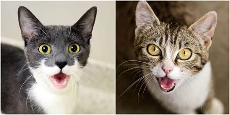 Cat screaming meme