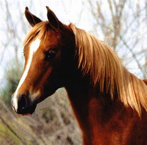 Flaxen Red Chestnut Horse Picture to Pin on Pinterest ...