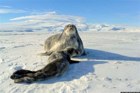 seals weddell antarctica seal icebergs ice survive antartica wedell ross iceberg shelf thierry chambert huffpost