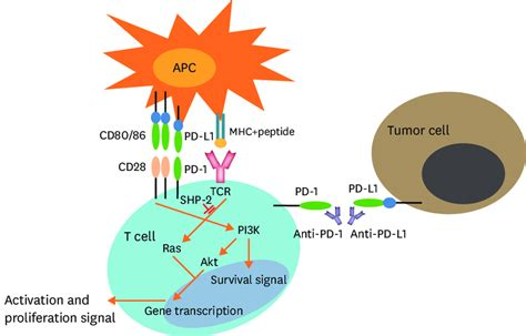 Pd-1 Pathway Signaling And The Targeting Of The Pd-1